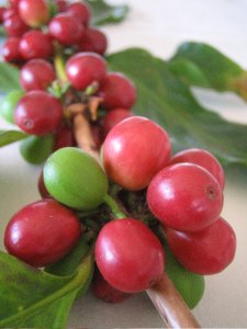 Green_Arabica_Coffee_Bean_from_Latin_America